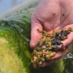 Algues utilisées dans la fabrication du péloïde de Dax, utilisé en cure thermale dans nos stations thermales de Dax et Saint-Paul-lès-Dax